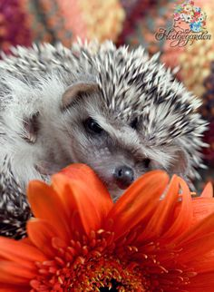Look at that smile! See more of our baby hedgehogs at www.hedgegarden.ca #hedgehog #baby hedgehog #hedgegarden #cute #smile #happy #flower #orange