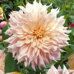 Cafe Au Lait Dinnerplate Dahlia - perfect for wedding bouquets or wedding decor
