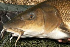 A márna a halak között a folyami halak egyik legkedveltebb, harcos hala. Fishing, Camping, Blog, Recipes, Trout, Campsite, Recipies, Blogging, Ripped Recipes