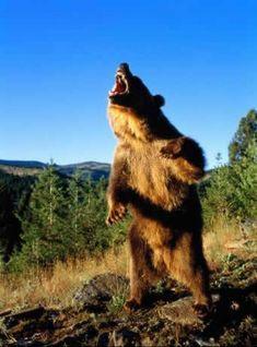 angry+bear+standing+(1).jpg (550×743)