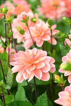 so many wonderful shades of peach dahlias out there!
