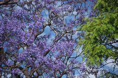 Los Arboles de Buenos Aires ~ Trees of Buenos Aires: Jacarandas blooming all over