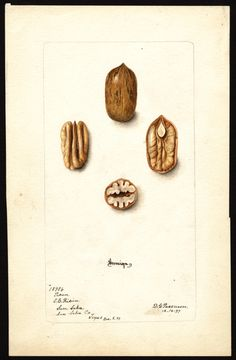 Artist:     Passmore, Deborah Griscom, 1840-1911  Scientific name:     Carya illinoinensis  Common name:     pecans  Variety:     Sovereign  Geographic origin:     San Saba, San Saba County, Texas, United States  Physical description:     1 art original : col. ; 16 x 25 cm.  Specimen:     18984  Year:     1899  Date created:     1899-12-16