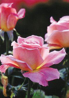 ~Rose 'Tiffany' Hybrid Tea, very fragrant