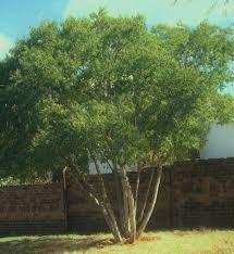 heteropyxis natalensis - Google Search Trees To Plant, Shrubs, Google Search, Plants, Planters, Plant, Planting