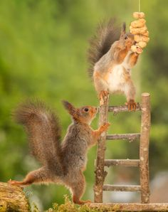 yes that one - red squirrel standing on stairs with peanuts and a squirrel beneath