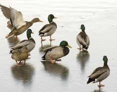 Ducks walk on a frozen section of the pond at Liberty Park. (Paul Fraughton     The Salt Lake Tribune)