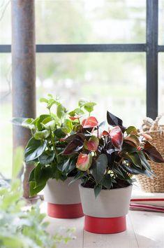 De verschillende kleuren anthurium snijbloemen en planten op een rij