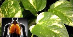 Esta planta purifica o ar de sua casa e desintoxica os pulmões da nicotina (e também trata glaucoma!) | Cura pela Natureza