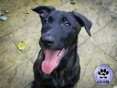 Central German Shepherd Rescue is more than happy to share each and every successfully adopted German Shepherd which we have a hand in rehoming. German Shepherd Rescue, Charity, United Kingdom, Adoption, Happy, Animals, Foster Care Adoption, Animales, Animaux