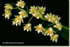 Australian Tropical Rainforest Orchids: Australorchis monophylla