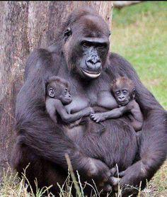 Mama Gorilla with twins.