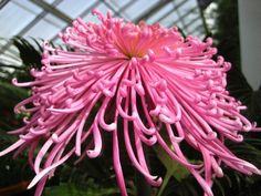 Japanese hybrid Spider Chrysanthemum | spider chrysanthemum
