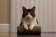 Meet general sherman the tuxedo bengal. hes my baby - http://cutecatshq.com/cats/meet-general-sherman-the-tuxedo-bengal-hes-my-baby/