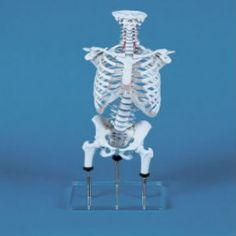 Σπονδυλική στήλη ειδικά κατασκευασμένη για ορθοπεδικούς, φυσικοθεραπευτές και για ωδεία (τραγουδιστές, πνευστά). Τα ισχία μπορούν να ανυψωθούν ή να χαμηλώσουν ανάλογα προσομοιάζοντας τις προσαρμογές τις λεκάνης.  Ύψος: 78 cm Βάρος: 5.4 kg Με ειδική βάση στήριξης Κατασκευασμένη απο ειδικό ανθεκτικό πλαστικό υλικό #προπλασμα #προπλασματα Chandelier, Ceiling Lights, Life, Decor, Candelabra, Decoration, Chandeliers, Decorating, Outdoor Ceiling Lights