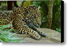 Jaguar  Stretched Canvas Print / Canvas Art By Darren Wilkes