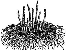 transplanting asparagus plants: tips for how to transplant asparagus