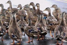 STRING collective noun for Ducks