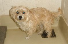 Wirehaired Terrier Wirehaired Terrier • Young • Female • Small San Angelo Animal Shelter San Angelo, TX