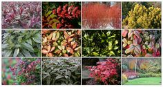 Foliage Shrubs for Great Winter Colour Evergreen shrubs come into their own in winter, when others have shed their leaves and only the silhouettes of bare branches remain. They underline the importance of foliage in the garden and its enduring beauty, unlike the ephemeral charm and colour of flowers. From...