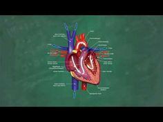 Herz & Blutkreislauf verständlich erklärt! - YouTube