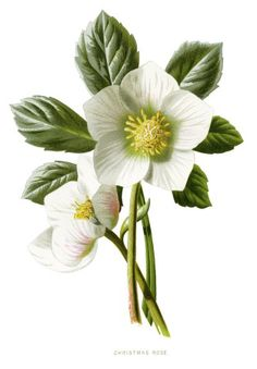 Here is a beautiful vintage illustration of the Christmas Rose. I thought you… Rose Illustration, Floral Illustrations, Botanical Illustration, Christmas Illustration, Vintage Botanical Prints, Botanical Drawings, Botanical Flowers, Botanical Art, Decoupage
