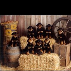 Love it, so many Rottweiler pups