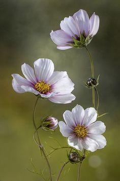 Trademark Global Mandy Disher 'The White Cosmos' Canvas Art - 16 - Pflanzen - Blumen Cosmos Flowers, Flowers Nature, Exotic Flowers, Amazing Flowers, White Flowers, Beautiful Flowers, Purple Flowers, Pink Roses, Cosmos Plant