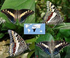 Giant Charaxes   Charaxes castor    Wingspan: 2.5 to 3.5 in Family: Nymphalidae   Subfamily: Charaxinae   Tribe: Charaxini  Photos © Ryan G. Fessenden