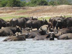 Uganda Uganda, Cow, Animals, Animales, Animaux, Cattle, Animal, Animais