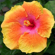 Exotic Hibiscus 'Venice Beach'
