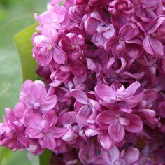 Flieder Syringa vulgaris 'Prince Wolkonsky' - Magentarote Flieder - Flieder-Premium Fliedertraum Syringa Vulgaris, Lilac, Prince, Beautiful Roses, Flowers, Plants, Gardening, Landscape Nursery, Nature