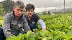 Das Hudelwetter im Mai haben viele satt – erst recht die Bauern. Erdbeeren, Spargeln und Broccoli haben in der Schweiz eigentlich Saison. Trotzdem gibt es im Laden erst spärlich Schweizer Saison-Gemüse und Früchte zu kaufen.