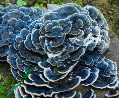 Trametes versicolor (i think this is turkey tail) - fungi