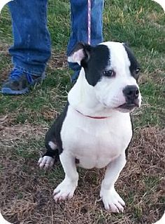 Seaford, DE - American Bulldog/American Staffordshire Terrier Mix. Meet Lil MT, a dog for adoption. http://www.adoptapet.com/pet/12198208-seaford-delaware-american-bulldog-mix