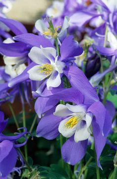 Columbines are common here although mostly associated with Colorado and Montana. They're a member of the buttercup family.