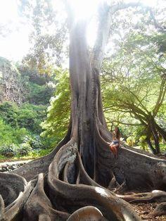 Allerton Garden, Kauai, Hawaii — by Becca O'Neal. Jurassic Tree in the Botanical Garden. #kauai #treehugger