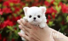 Welcome to FouFou Puppies. The Home of the World's Most Exquisite Teacup Maltese for Sale. Contact Us Today to Reserve Your Puppy! Ask for Our 'Special Order' Option. We Can Locate Your Dream Puppy! Maltese Dog For Sale, Teacup Maltese For Sale, Micro Teacup Puppies, Dogs For Sale, Maltese Dogs, Fluffy Puppies, Little Puppies, Baby Puppies, Baby Dogs