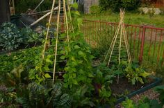 Metal frames with bamboo supports for peas, beans, tomatoes and larger squash. Allotments 4 All - supporting your beans and peas