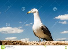 Seagull At Blue Sky Stock Photo - Image: 70738445