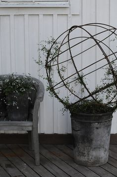 Large slider, Muehlenbeckia complexa Is so very happy that I managed to winter my slider. They have been wrapped in bub Container Plants, Container Gardening, Invasive Plants, Pot Plante, Perfect Plants, Garden Features, Garden Styles, Garden Projects, Garden Pots
