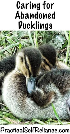 Caring for Abandoned Ducklings — Practical Self Reliance Raising Ducks, Raising Goats, Raising Chickens, Backyard Farming, Chickens Backyard, Backyard Ducks, Backyard Poultry, Keeping Ducks, Best Egg Laying Chickens