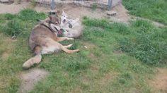 【動画】狼犬の兄弟 遊ぶ ウルフドッグの1歳はまだ子供だけど、自分より小さい今年生まれの弟妹達には低姿勢で遊んであげるとても優しいお兄ちゃん  #hybridwolf#wolfhybrid#wolfdog#ハイブリッドウルフ#狼犬