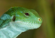 Fiji Island banded iguana #animals #reptile