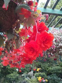 Begonias at the Butchart Gardens