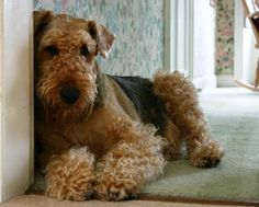 Airedale Terrier Puppies - Bing Images  Our Airdale, Trudie, would look like this if I would groom her more often :)