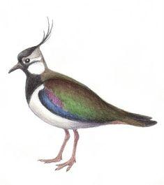 Kevätseuranta opetukseen | Luonto-Liiton Kevätseuranta Diy For Kids, Bird, Spring, Animals, Animales, Animaux, Birds, Animal, Animais