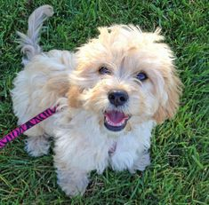 Lily the Bichon Frise Mix Pictures 936926