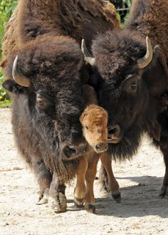 Bison family Kodak moment- Thank You😁👏👏👏👏😁 We built Deerfoot Trail,in Calgary too. Thank You, Bison Family🥁👋👏 The Animals, Baby Animals, Wild Animals, Zebras, Beautiful Creatures, Animals Beautiful, Baby Bison, American Bison, Tier Fotos