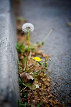 Dandelions in the gutter Dandelion Clock, Dandelion Wish, Dandelion Flower, Wild Flowers, Beautiful Flowers, Taraxacum, Simple Pleasures, Make A Wish, Natural Wonders